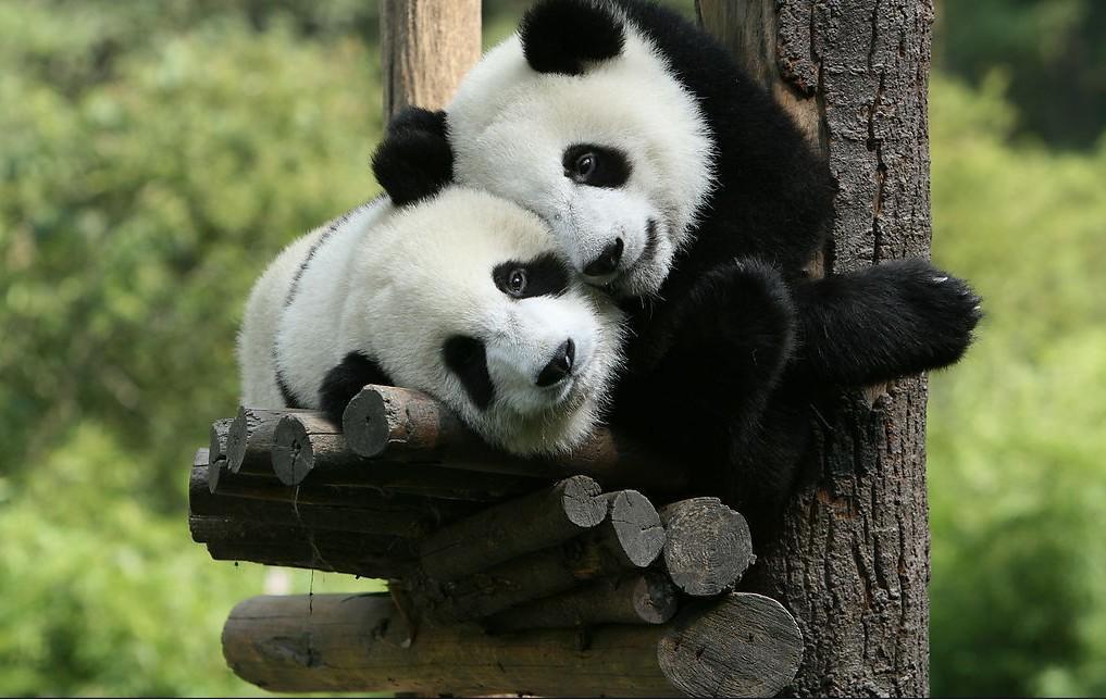 【亲子游】成都熊猫基地、都江堰双动三日